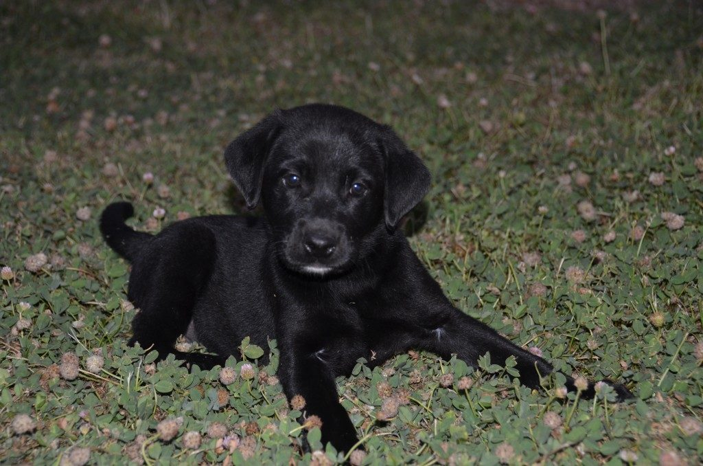 two female akc black lab puppies