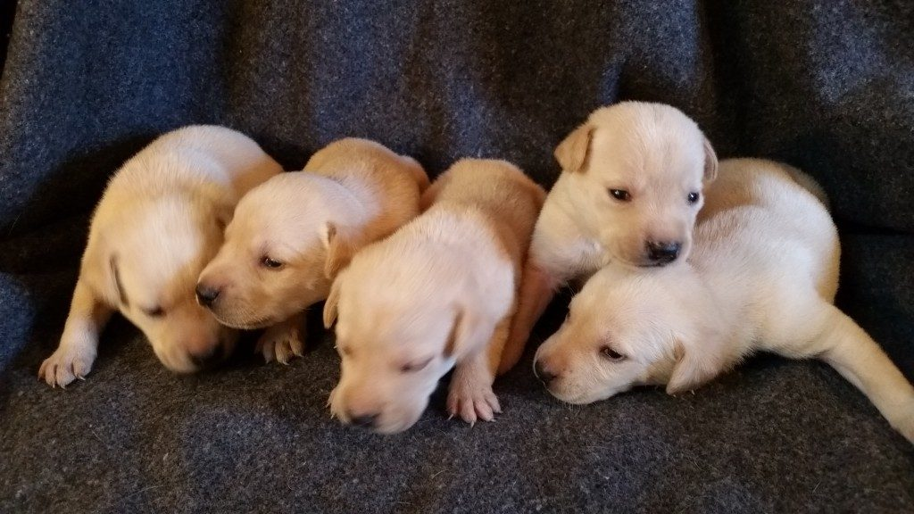 Idaho Yellow Lab Puppies