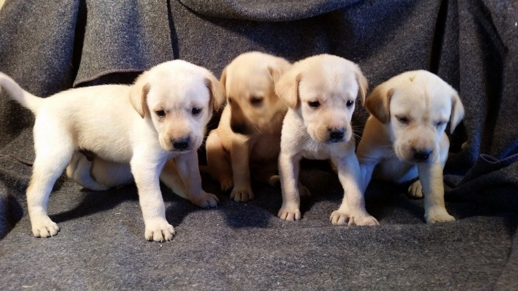 Male Yellow Lab Puppies