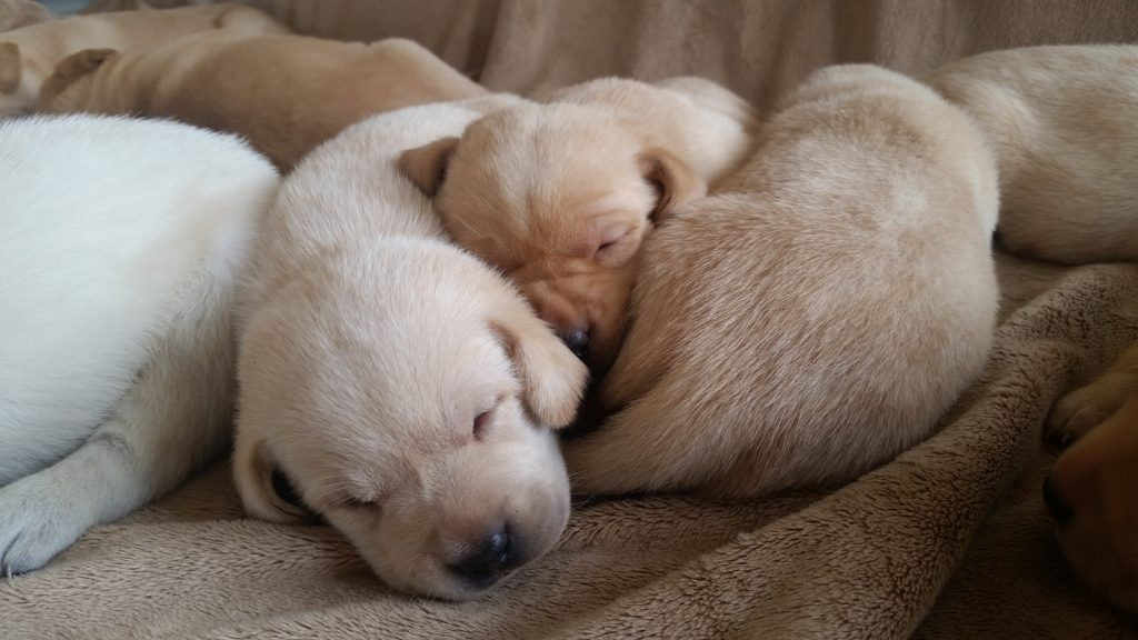 Yellow Lab Puppies 3 Weeks