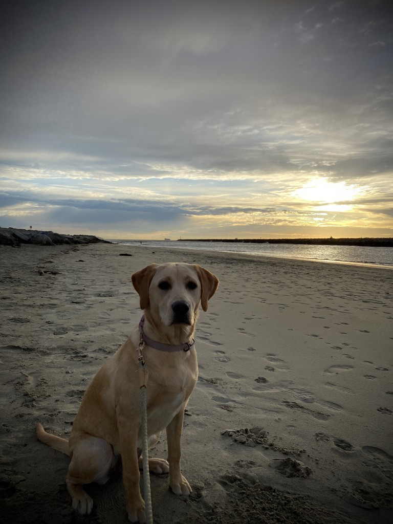 Mollie - Yellow Labrador Retriever