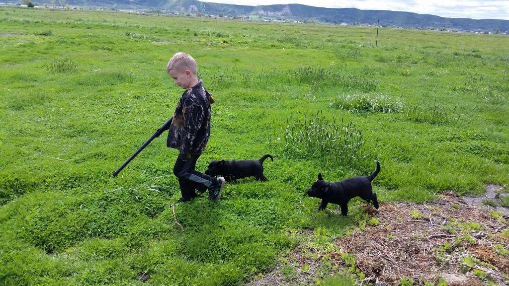 Idaho AKC Lab Puppies