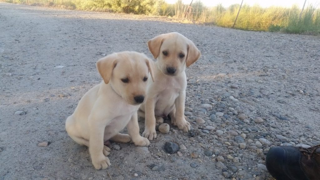 Yellow Lab Male Puppies