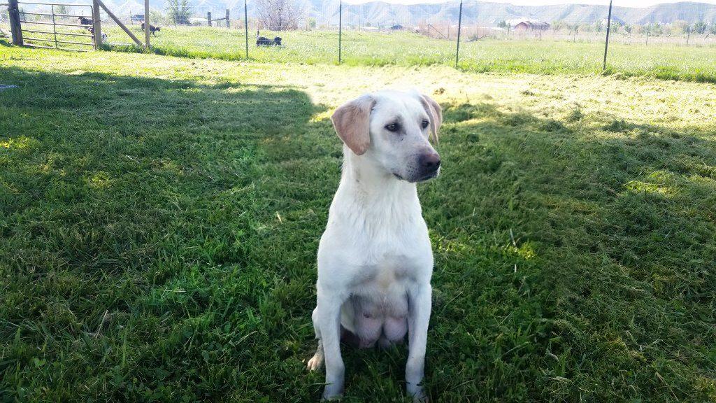 Willow White Labrador Retriever