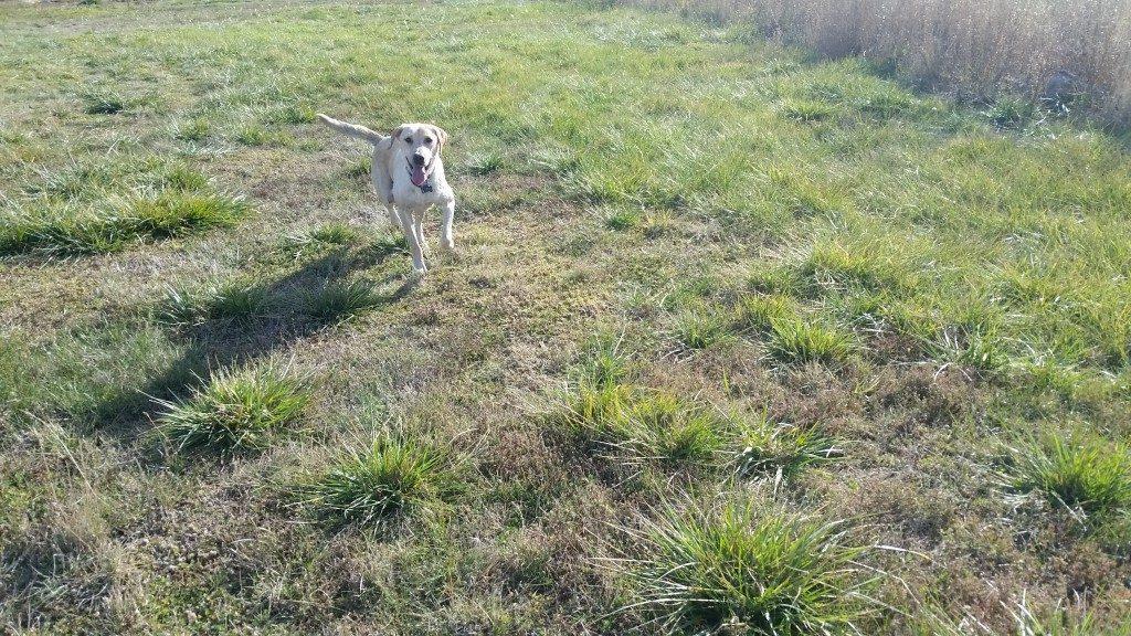 Sammi AKC Yellow Labrador Retriever