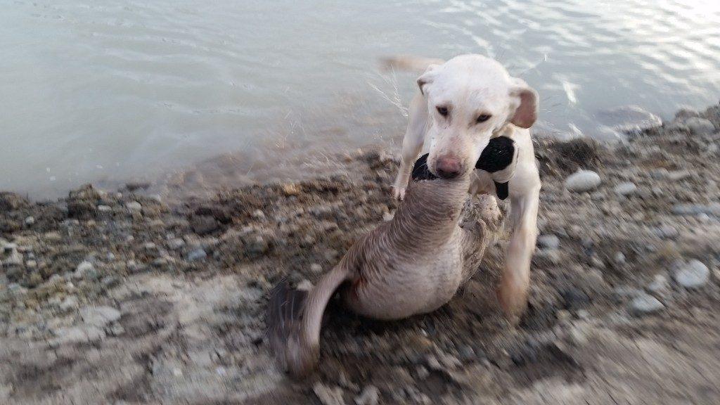 Willow Goose Retrieve