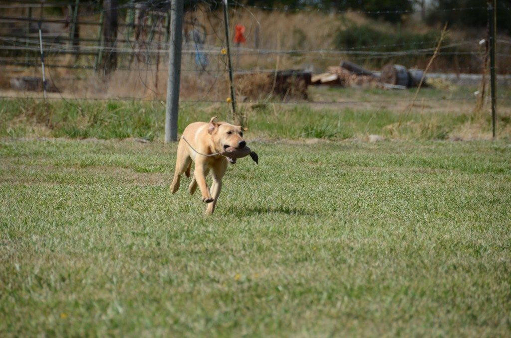 Lucy Started Yellow Lab