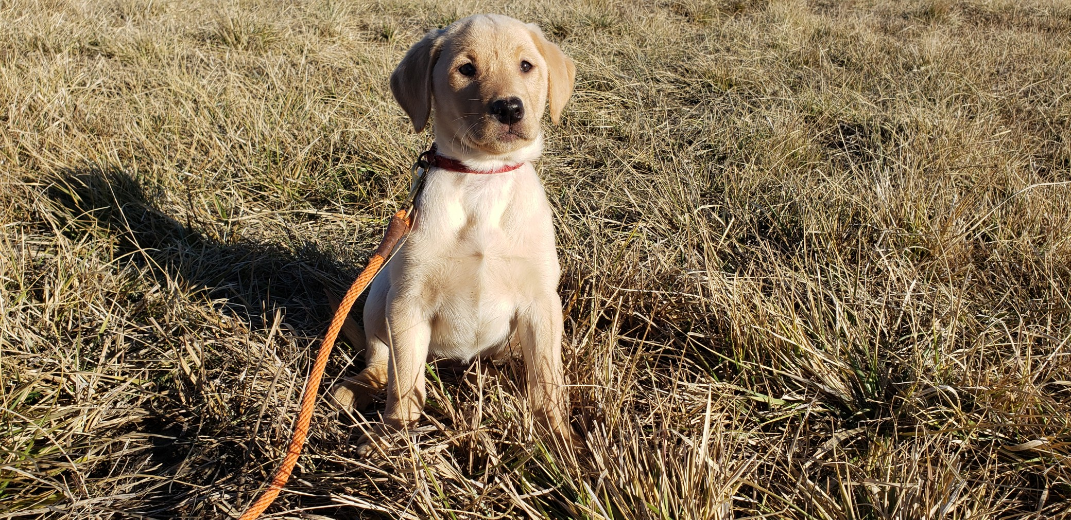 Stella Started Yellow Labrador Retriever