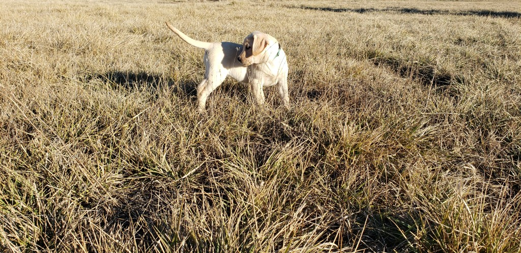 Bailey - Started Yellow Lab Puppy
