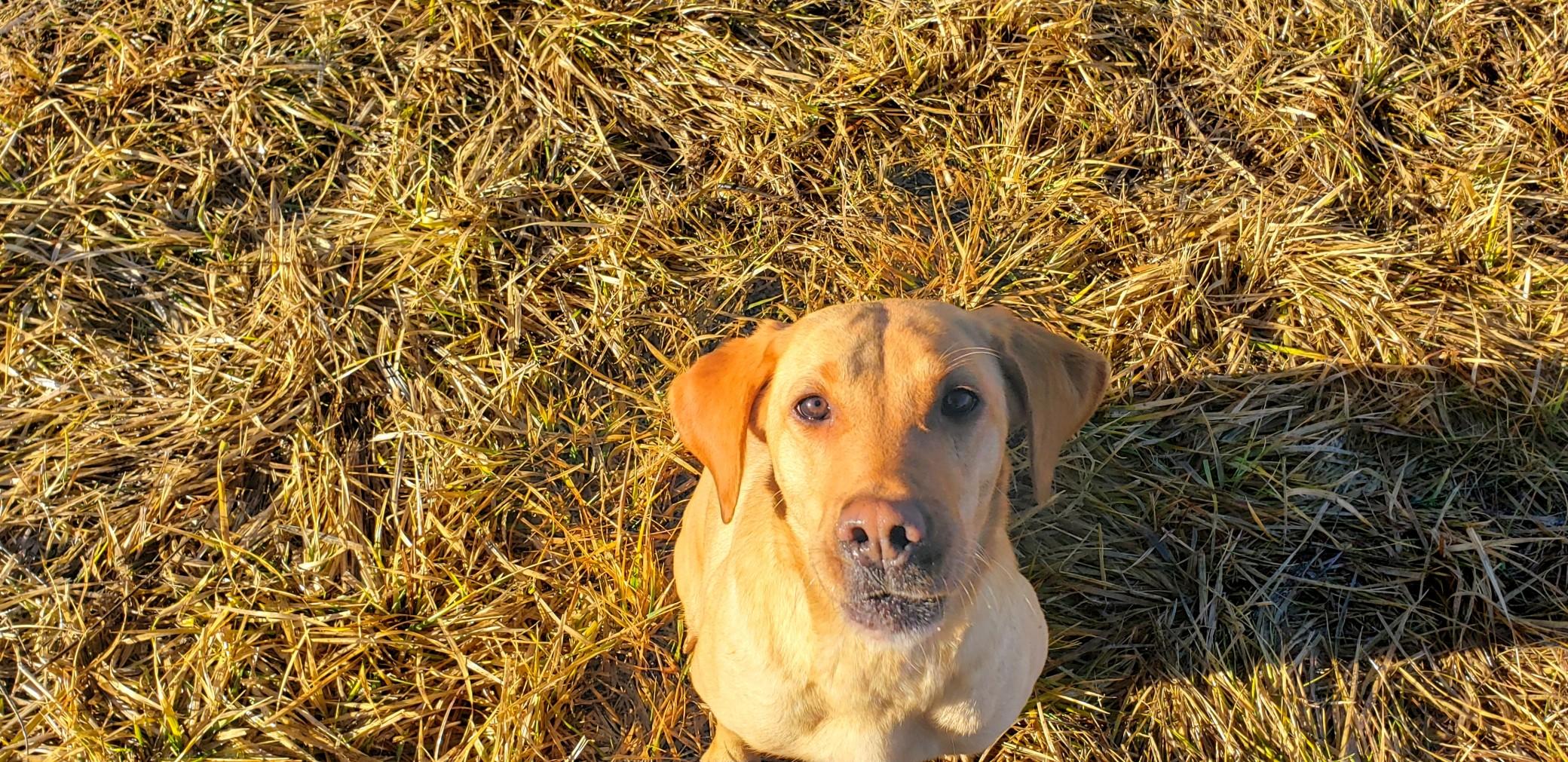 Echo - Yellow Labrador Retriever