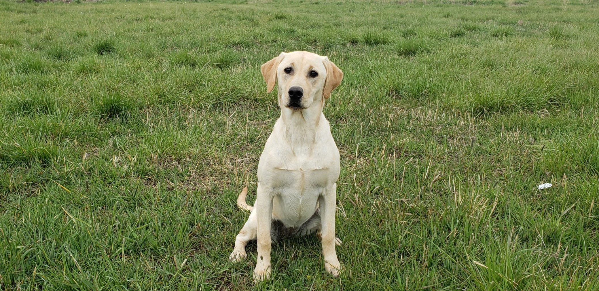 June Started Yellow Lab