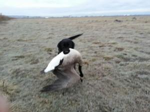 Piper_goose